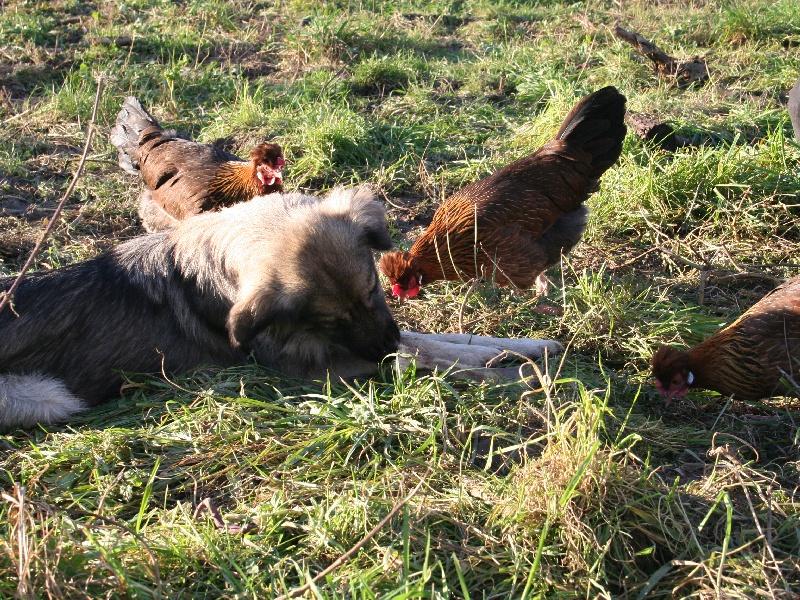 Hühnerhund - Altsteirer Hühner