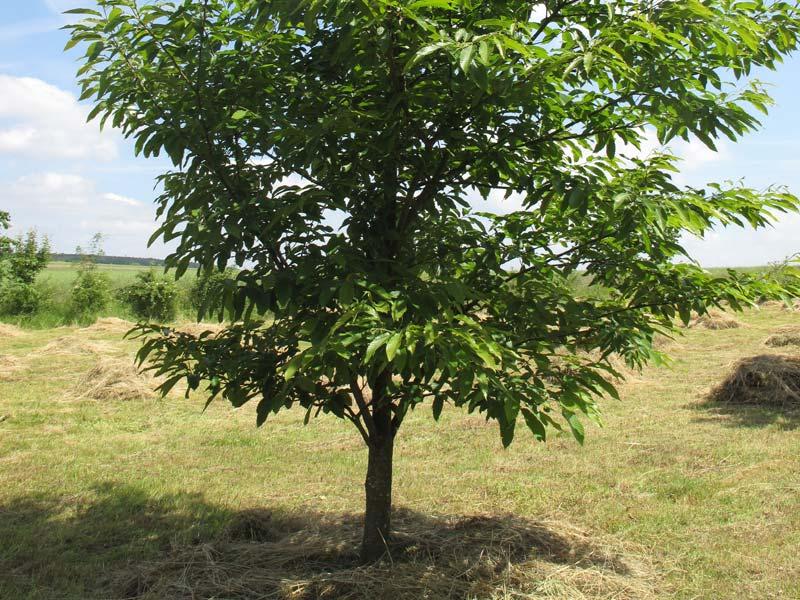 Esskastanie - Baum