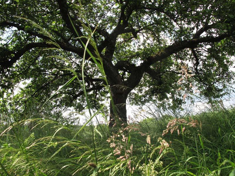 großer Obstbaum