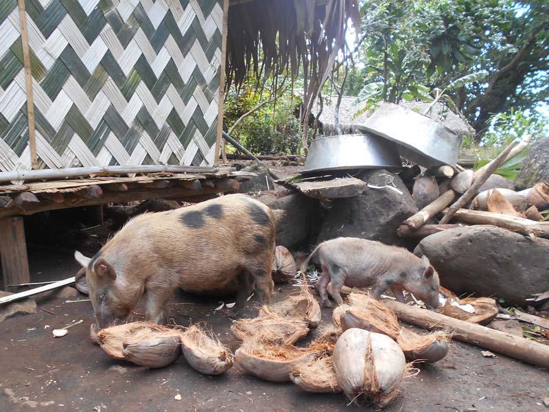 Schweine lieben Kokosnuss