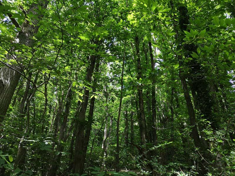 Wald aus Esskastanien in der Pfalz
