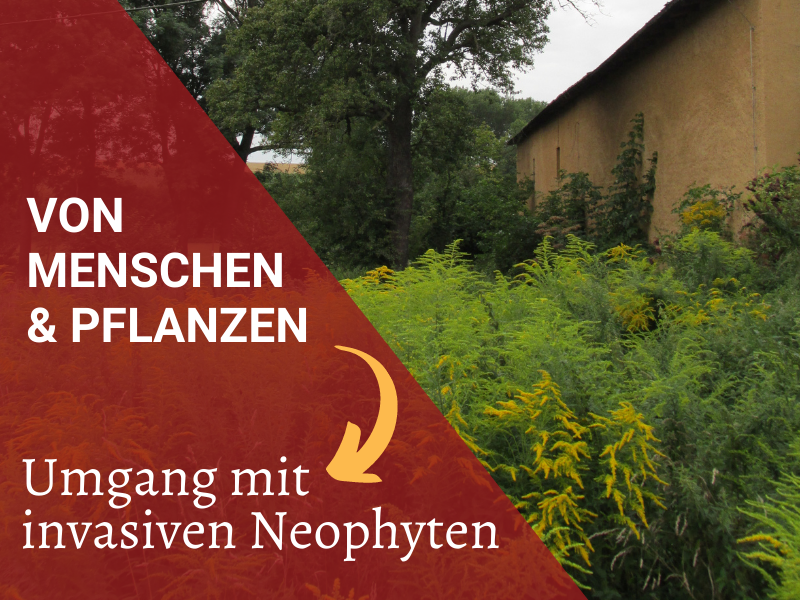 Invasive Neophyten in Gartenprojekten, Goldrute im Garten