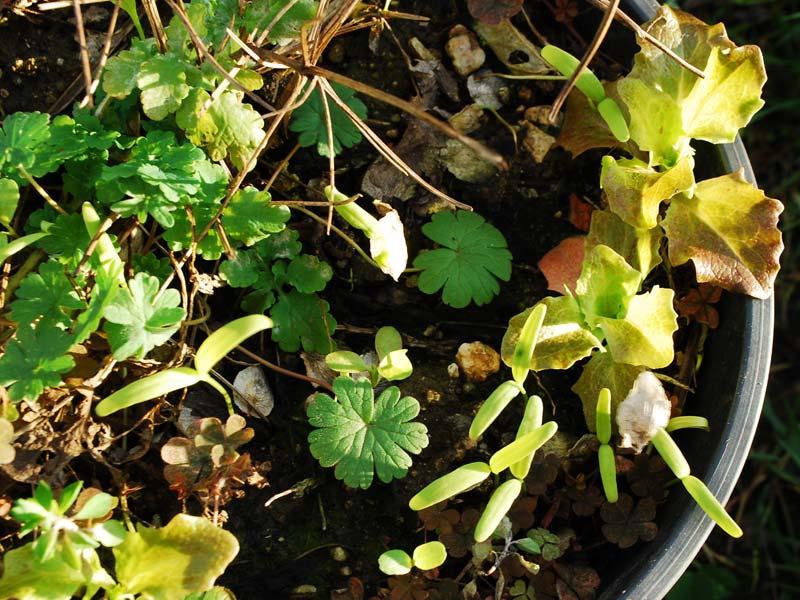 keimende Gemüsejungpflanzen (Foto © Birte Friebel)