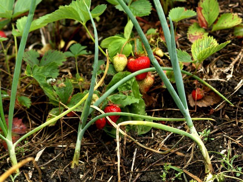 Als Unterpflanzung sind Erdbeeren und Zwiebeln eine ideale Mischkultur (Foto © Kurt Forster)