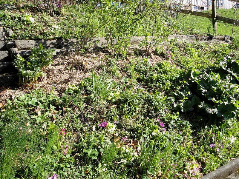 Frühlingserwachen im Waldrandgarten: Blühende Veilchen und Buschwindröschen (Foto © Kurt Forster)